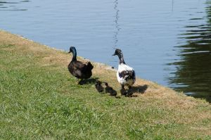 Duck Family On A Walk by AquaVixie