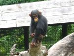Baby Chimp by Kate419882