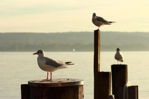 Seagull by Optionator