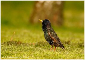 Starling In The Grass by andy-j-s