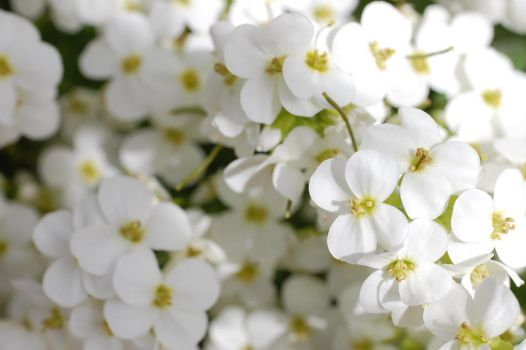 White flowers by SimbaHarley