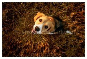 Canis lupus familiaris by Snert
