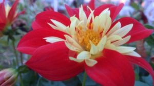 Red, Red flower by plaindiamond