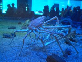 spider crab by wildwolves