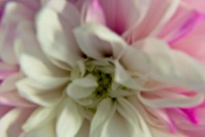 Pink and White Mum 5 by OneLittlePixel