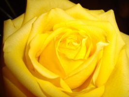 yellow rose by Babysau