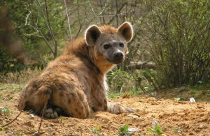 spotted hyena by KIARAsART