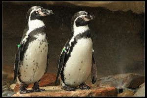 Humboldt Penguins by timseydell