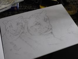 quick sketch -lost clouded leopards. by acrylicwildlife