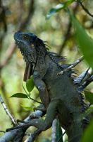 Iguana by lynsea