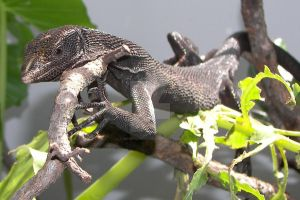 Black Tree Monitor by ManitouWolf