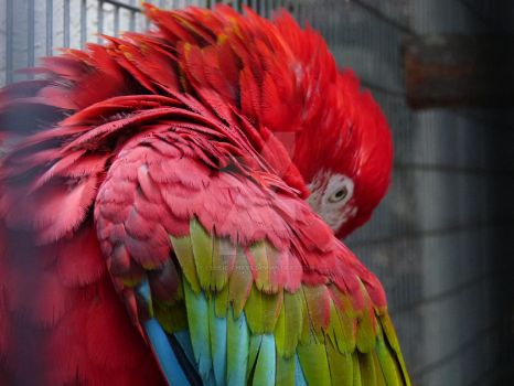 Red Macaw, Preening by celtic-chrys