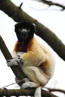 Crowned Sifaka by Shadow-and-Flame-86