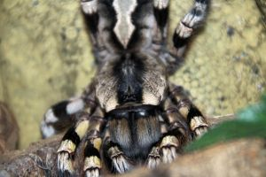 Poecilotheria regalis by Risen-From-The-Ruins