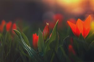 red tulip by CliffWFotografie
