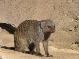 Mongoose by Pawz2142