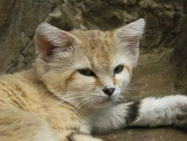 Sand Cat by bmxer197
