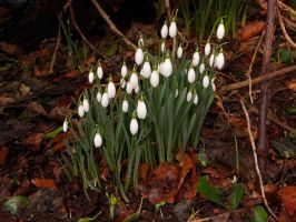 Snowdrops in Roslin Glen by WestLothian