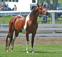 Halter Horse 17 by shi-stock