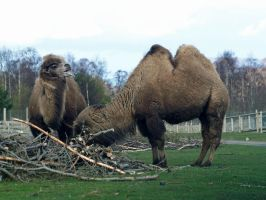 Bactrian camels by piglet365