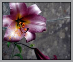 Purple Lily by engraven