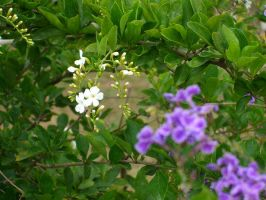 White and purple flowers by Dinopeal