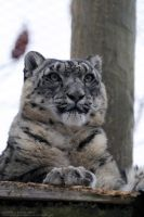 Snow Leopard 8 by 8TwilightAngel8