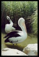 Pelicans by TVD-Photography