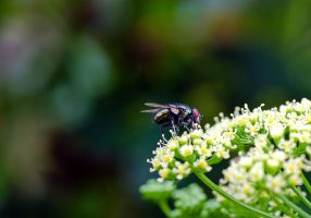 Green fly on Parsley flower by halfhandau