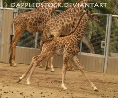 Giraffe 05 by dappledstock