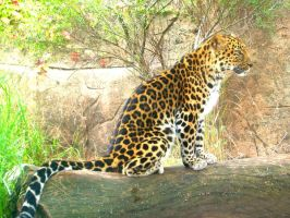 Amur Leopard by PirateCaptainJess