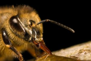 Hungry Honeybee II by dalantech