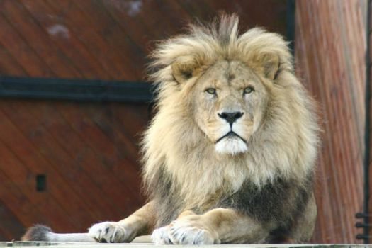 Lion II by witchfinder-stock