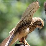 Kestrel by HappyRaindrop