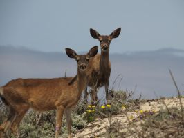 Deer On The Dunes by Glacierman54