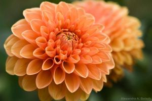 Peach-coloured flowers by Sashi94