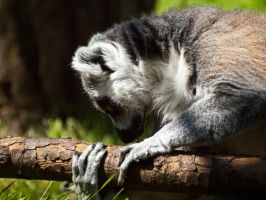 Ring Tailed Lemur 03 - June 12 by mszafran