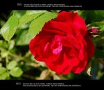 Roses 5 by Mithgariel-stock