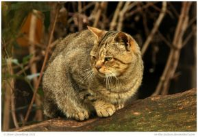 Scottish Wild Cat by In-the-picture