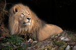 Lion2 by brijome