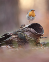 Robin by HammerPhotography