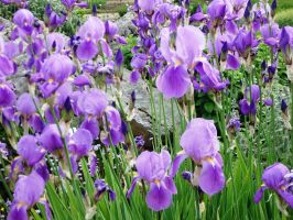 Irises by ordinarygirl1