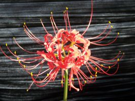 Spider Lily unedited by Night-Maiden