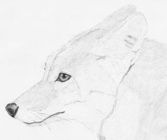 Coyote by Sollerion