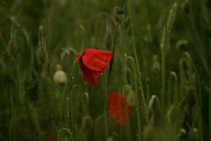 Poppies at Dusk by elvenmaedchen