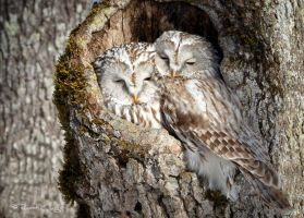 .:Ural Owl Couple:. by RHCheng