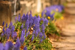 Grape Hyacinth Alley by froggynaan