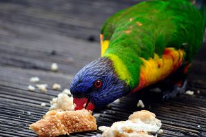 Rainbow Lorikeet 3 by BlueStar159