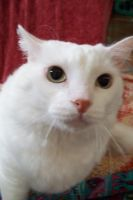 Mad white cat by paintresseye
