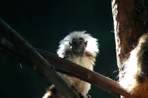 Cottontop tamarin 4 by Silver-she-wolf-14